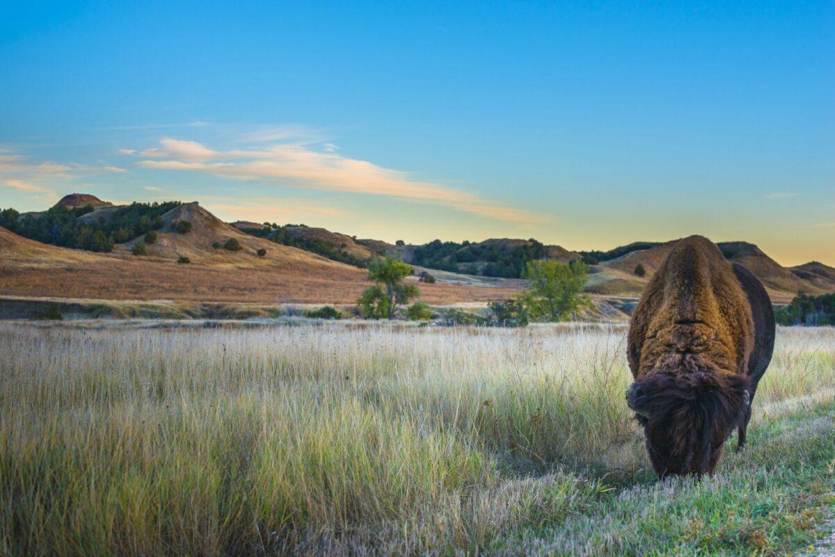 Buffalo badlands national park dakota usa