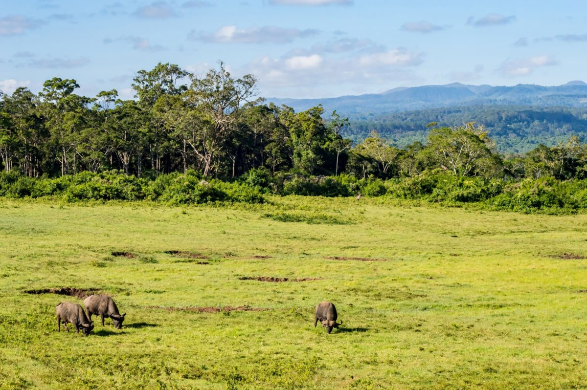 Buffalos grazing in a meadow at Aberdare Park in central Kenya