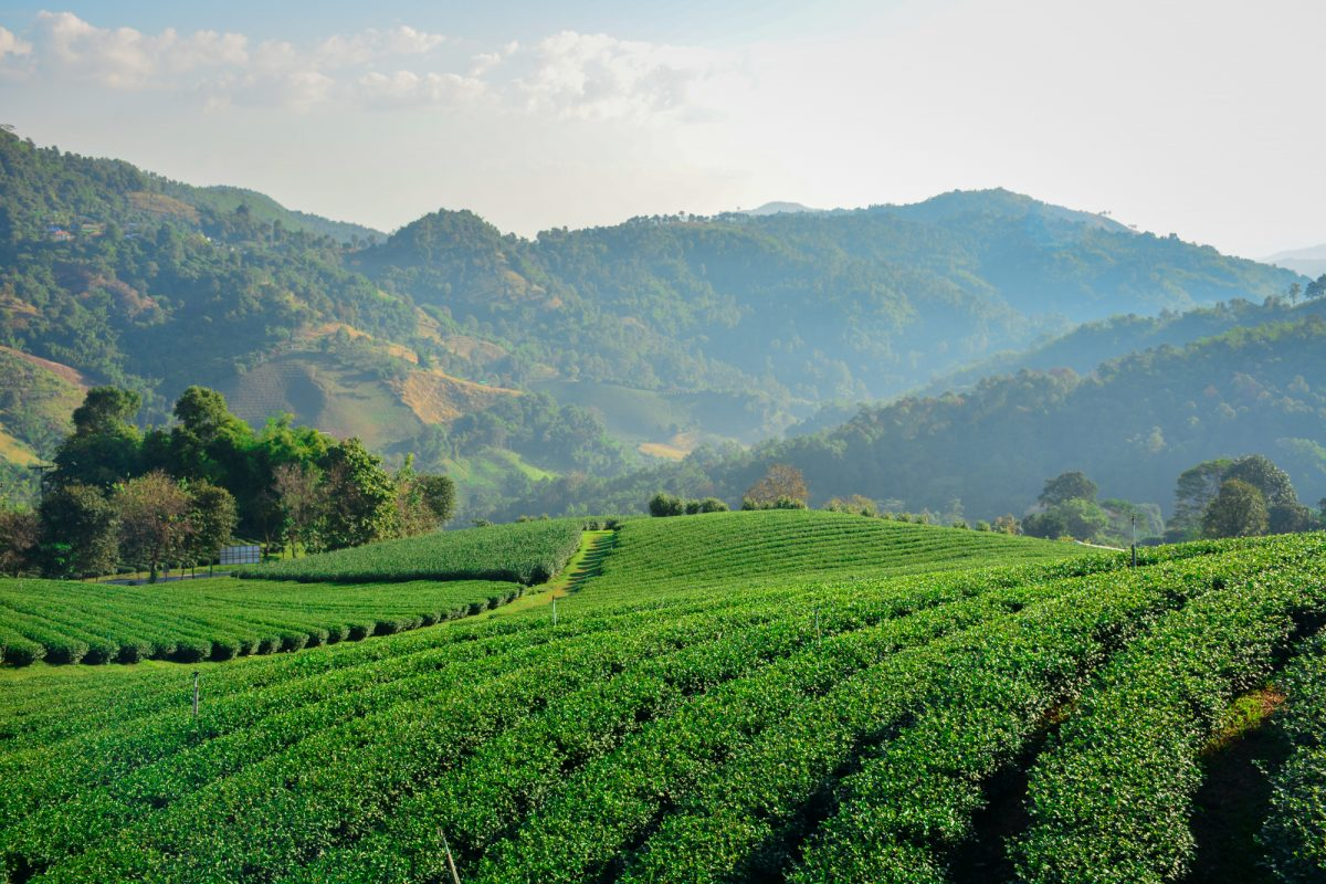 chiant_rai_tea_plantations_thailand