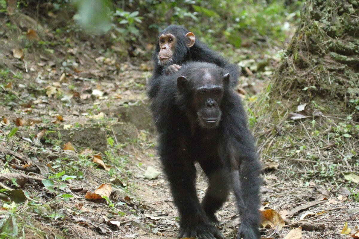 Chimpanzee Gombe Stream National Park Tanzania