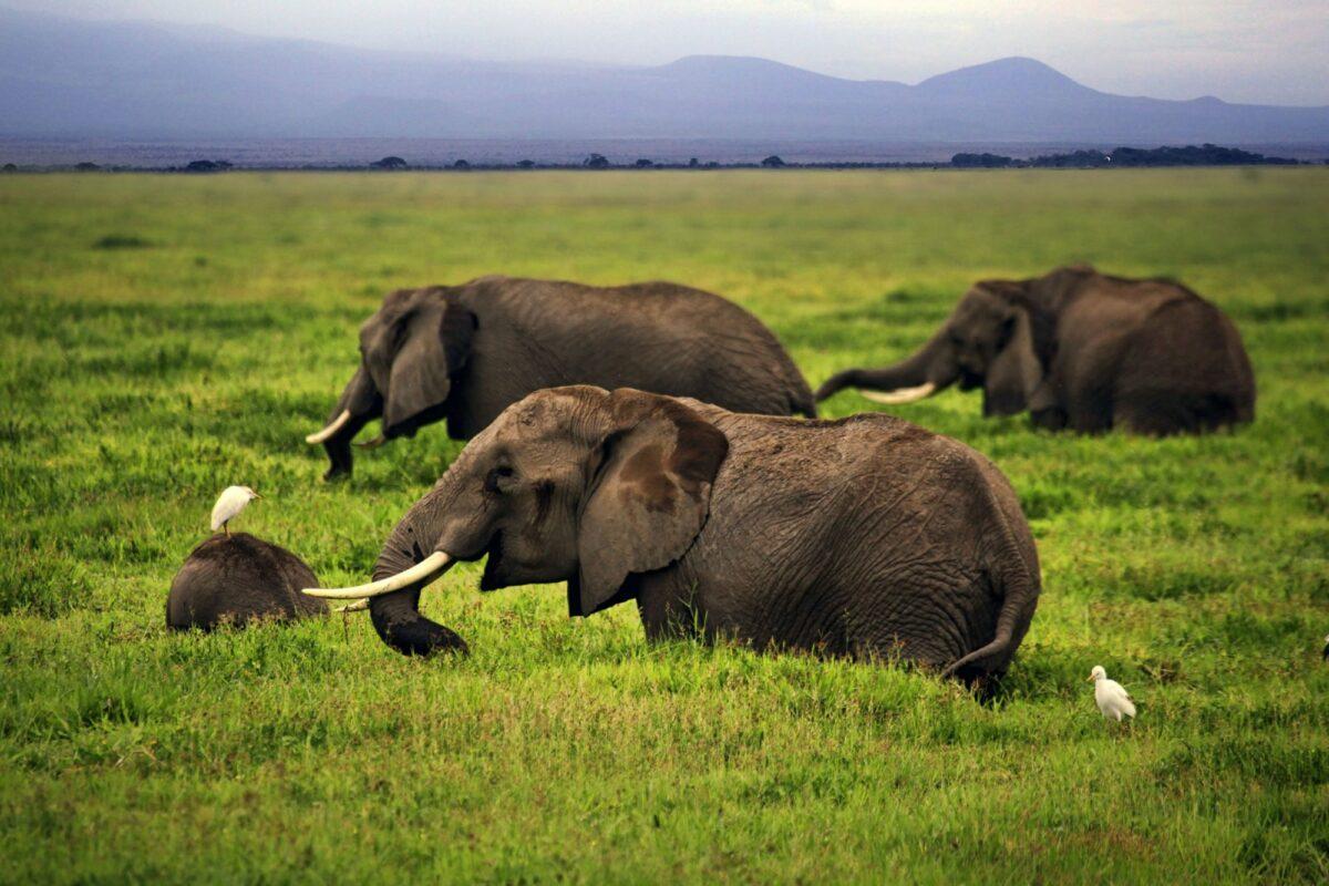 Elephant Amboseli kenya