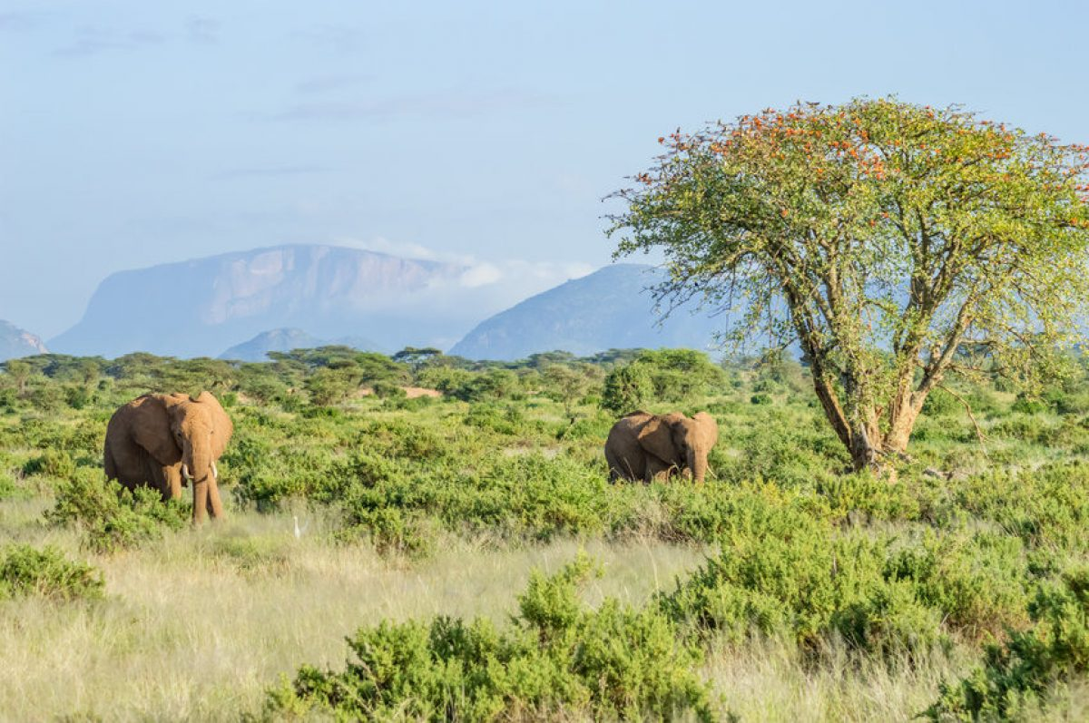 Elephants Samburu Park in central Kenya