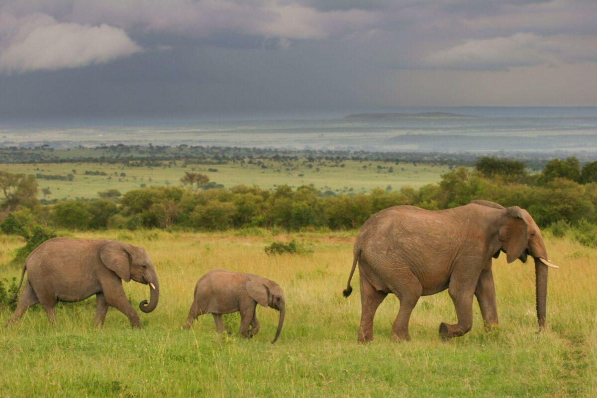 Elephants maasai mara kenya