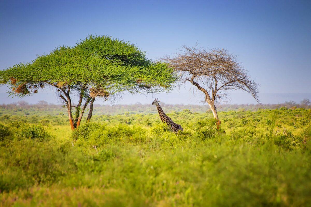 Giraffe Tsavo East National Park Kenya