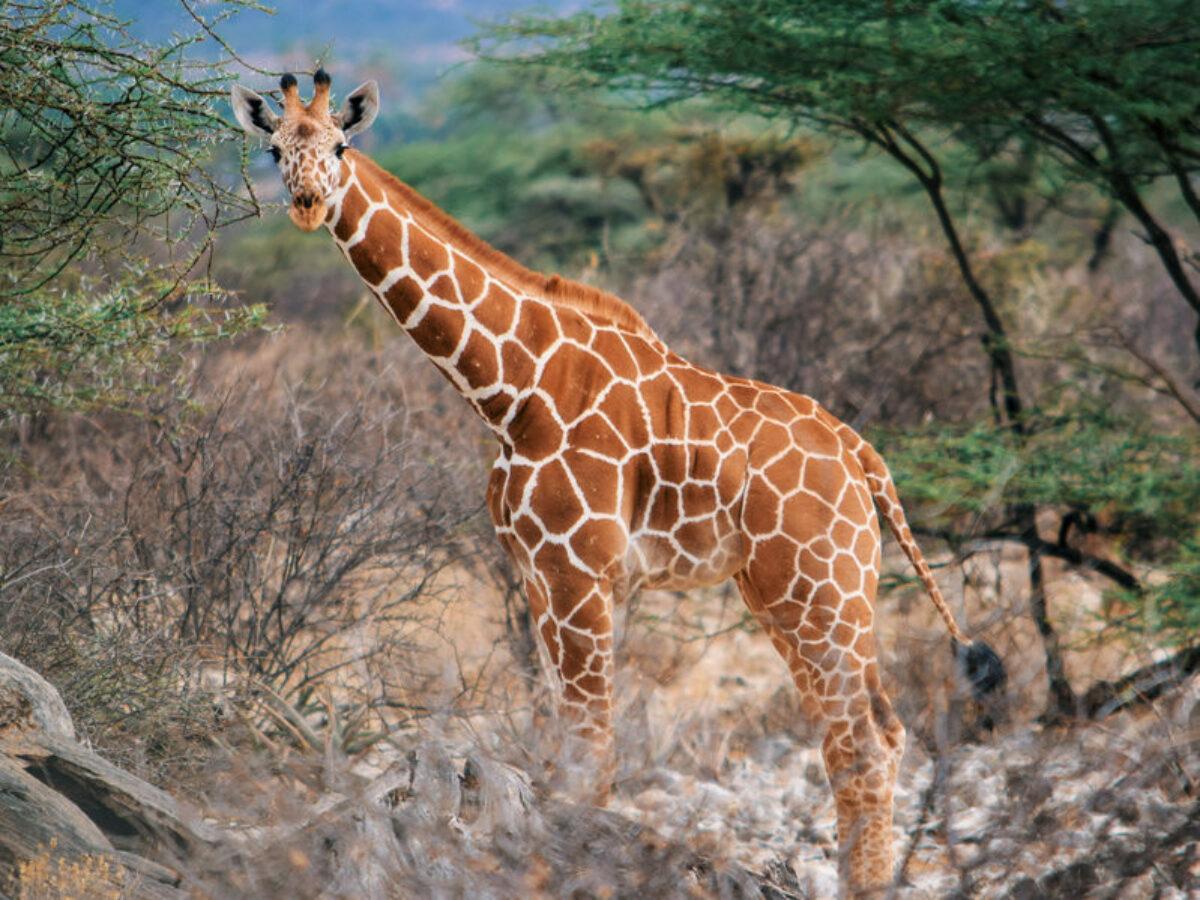 Giraffe at Samburu National Reserve Kenya
