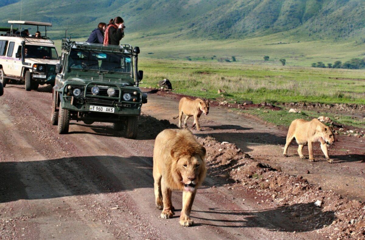 Lions safari Ngorongoro Conservation Area tanzania