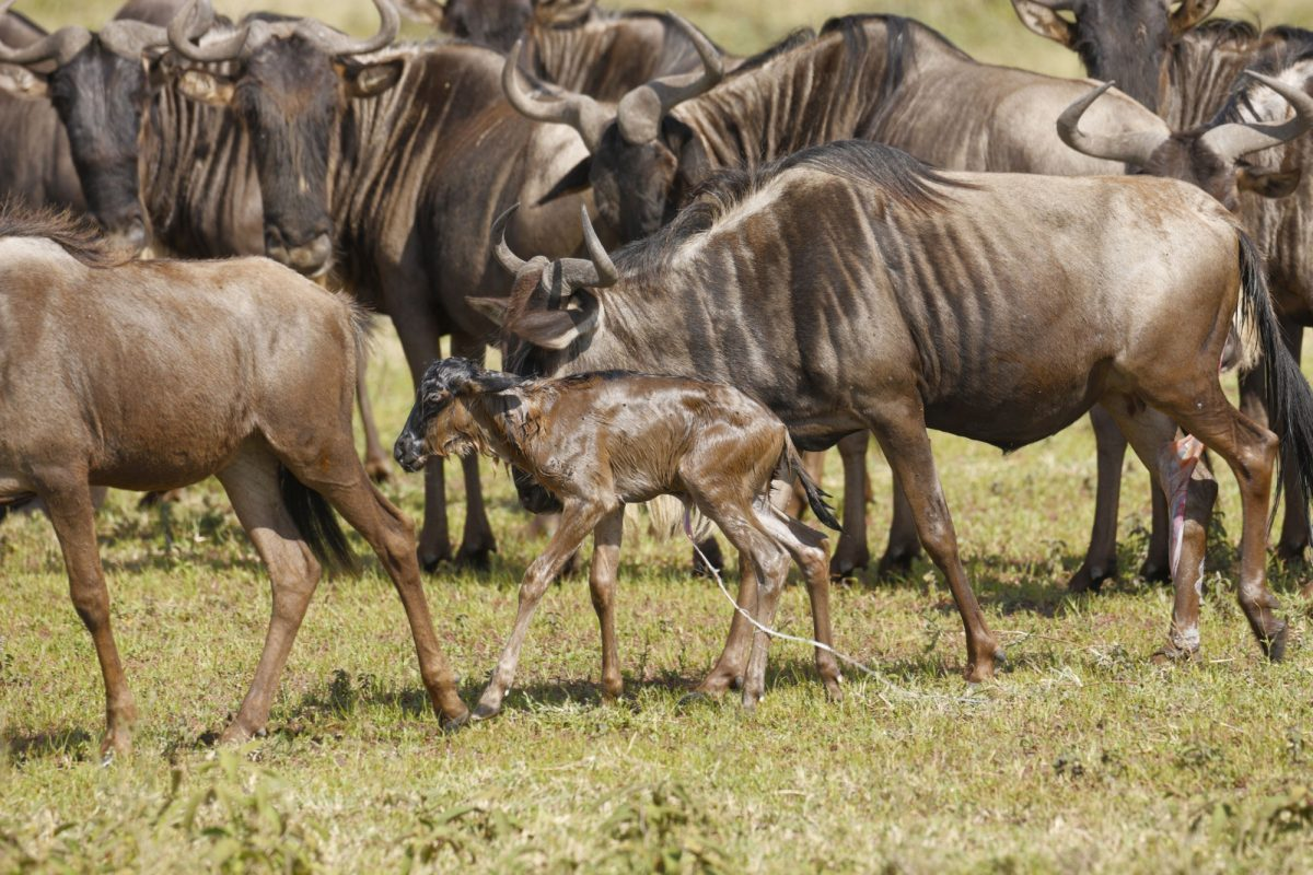 Newborn wildebeest calf joins the migration moments after birth on the Seregeti Plains tanzania