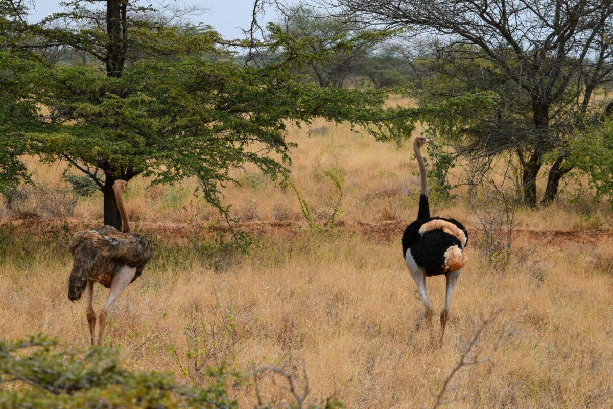 Ostrich meru national park kenya