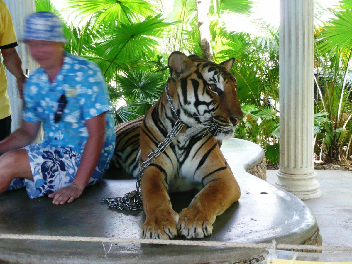 Photo prop tiger Born Free Foundation