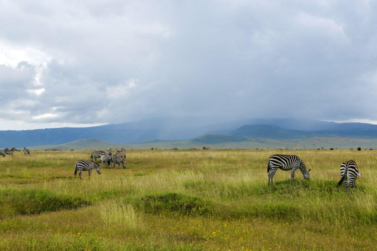 Rains zebra Ngorongoro Crater Conservation Area Tanzania