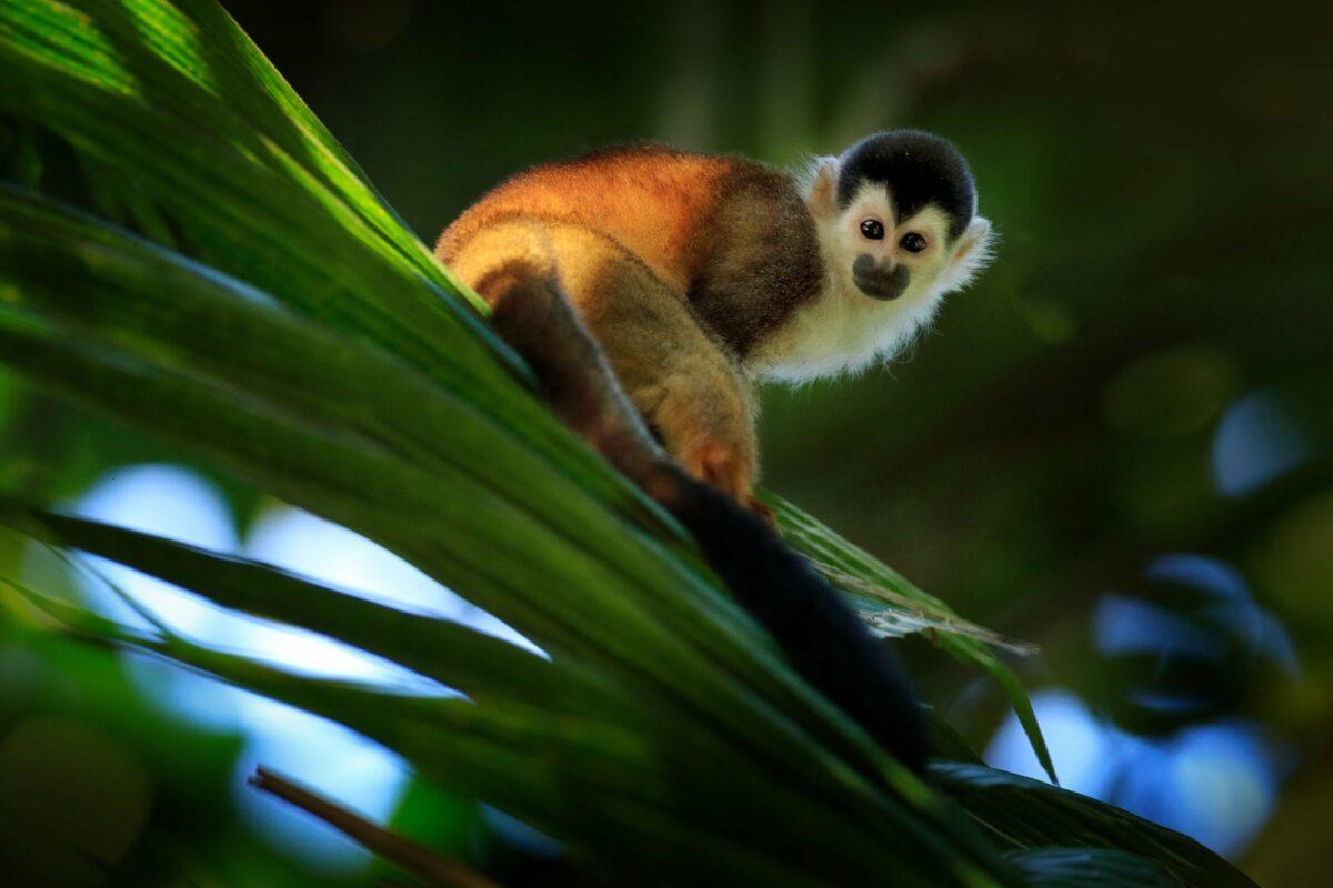 Squirrel monkey corcovado np costa rica