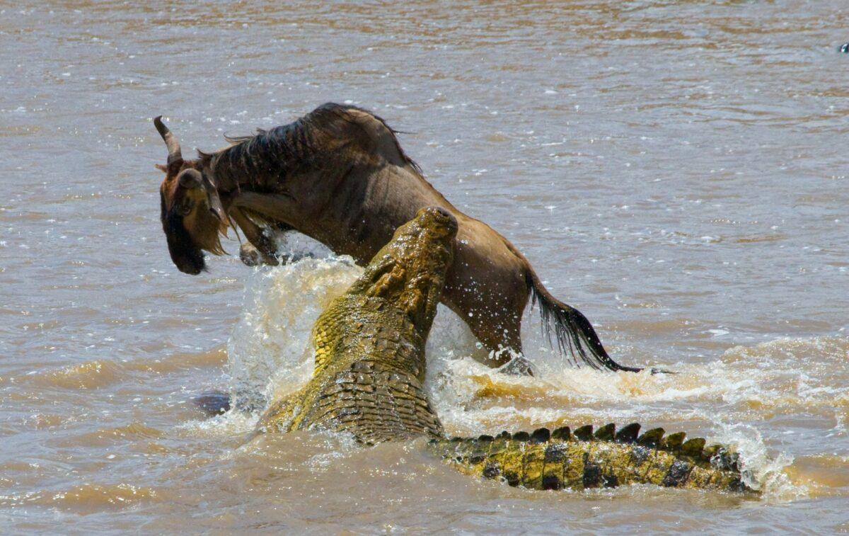 Wildebeest crocoldile mara river kenya