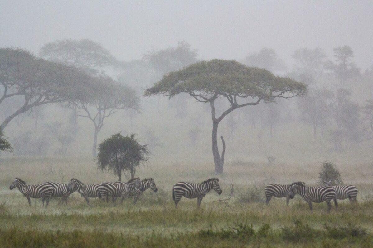 Zebra rain serengeti tanzania