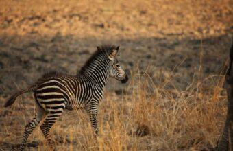 Zambia's Luangwa & Luambe Discovery Safari