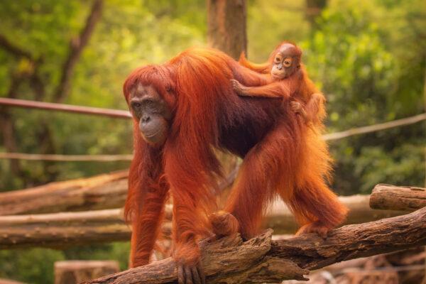 Where To See Orangutans In Indonesian Borneo