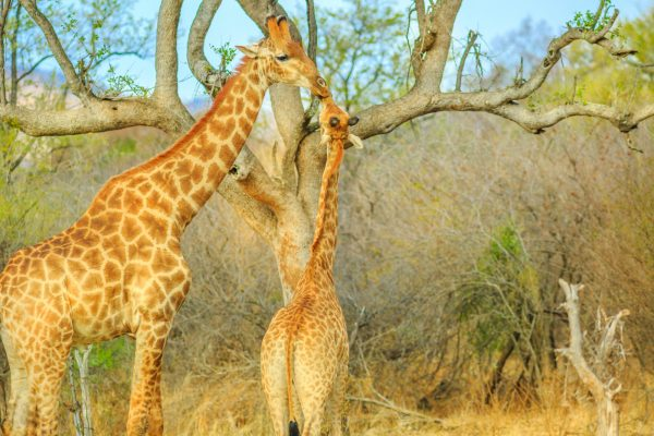 Safari In South Africa's North West Province
