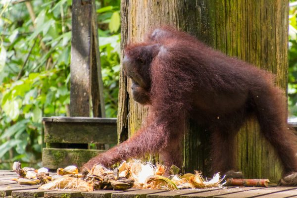 Where To See Orangutans In Sabah