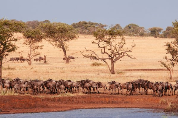 Where Is The Wildebeest Migration In June?