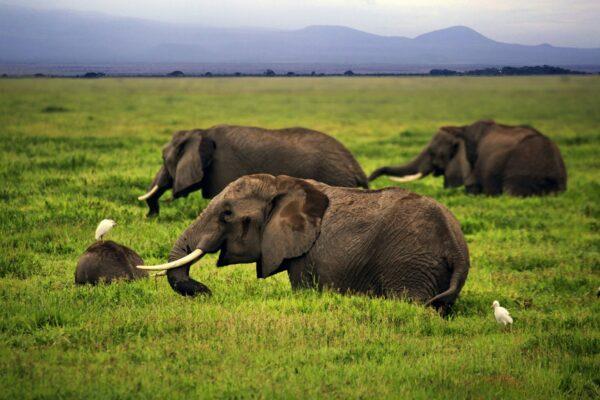 Safari In Amboseli National Park