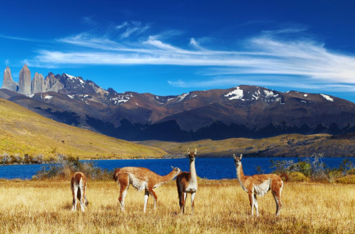 Chile Guanaco Torres
