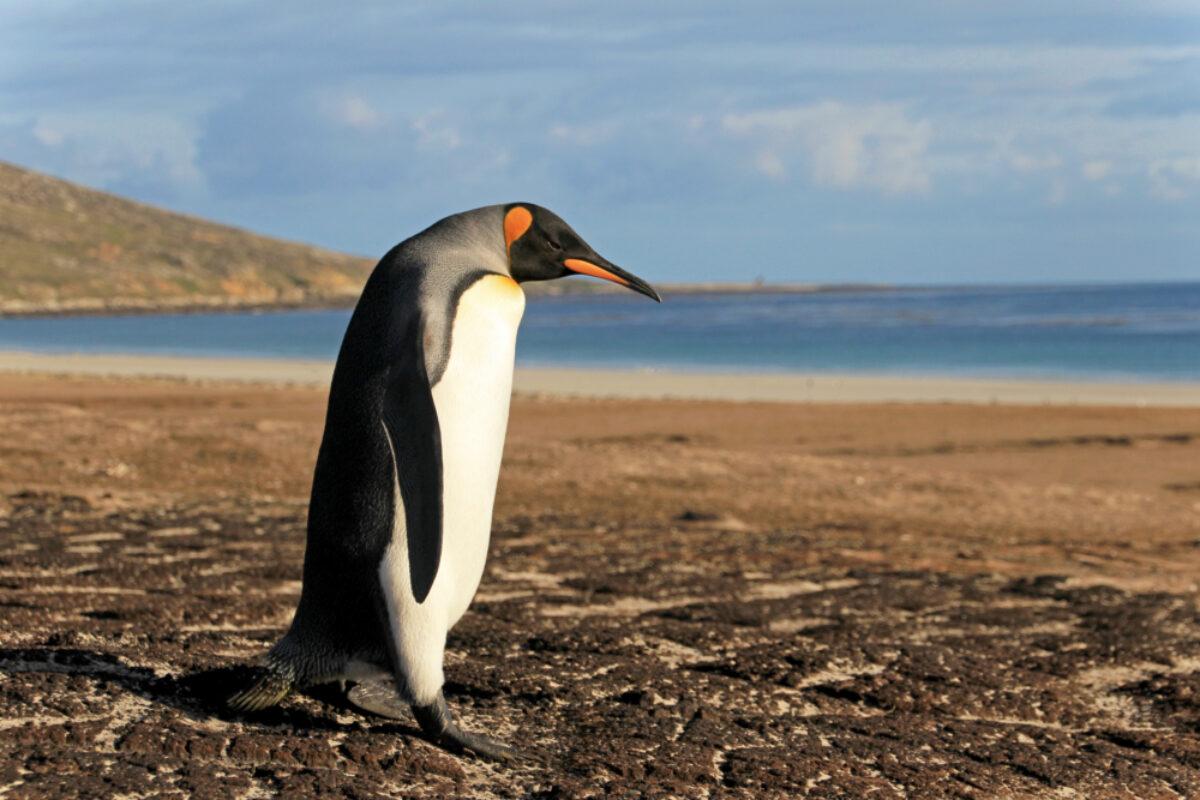 Falkland-Islands_Saunders-Malvinas