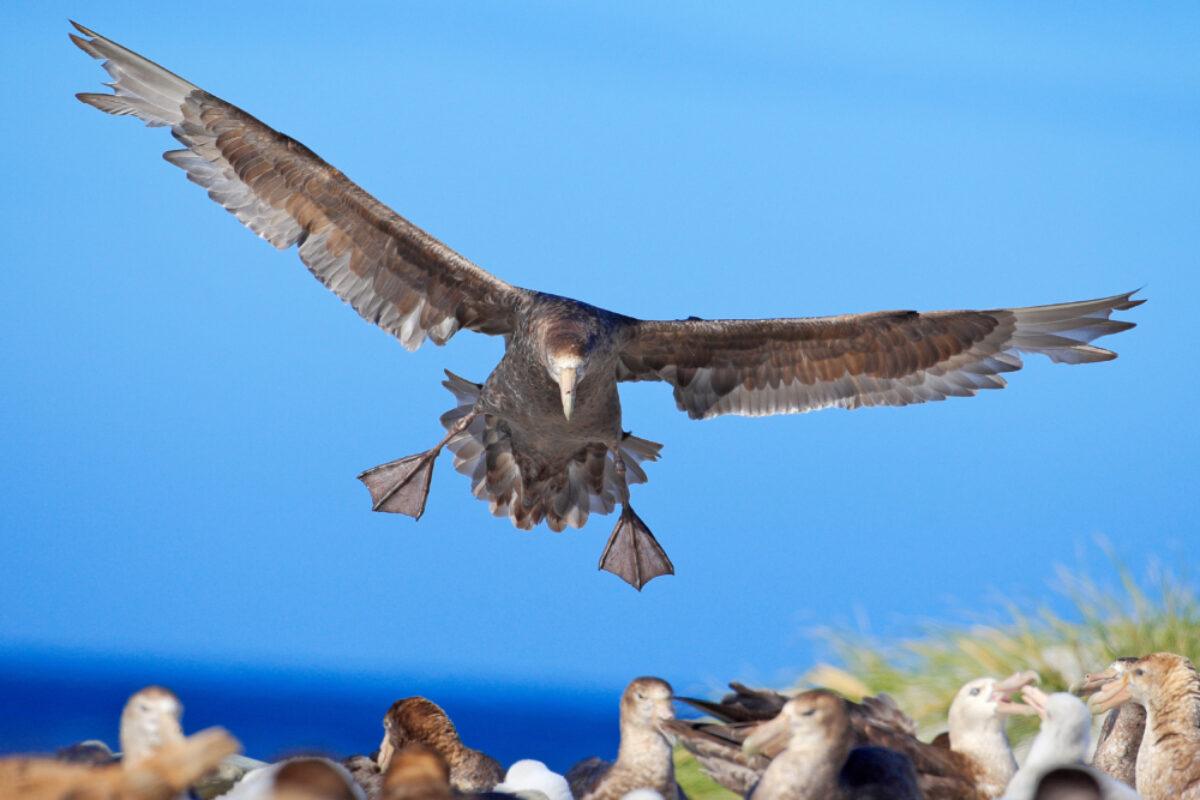 Falklands_Sea-Lion-Island_Petrelbird_lowres