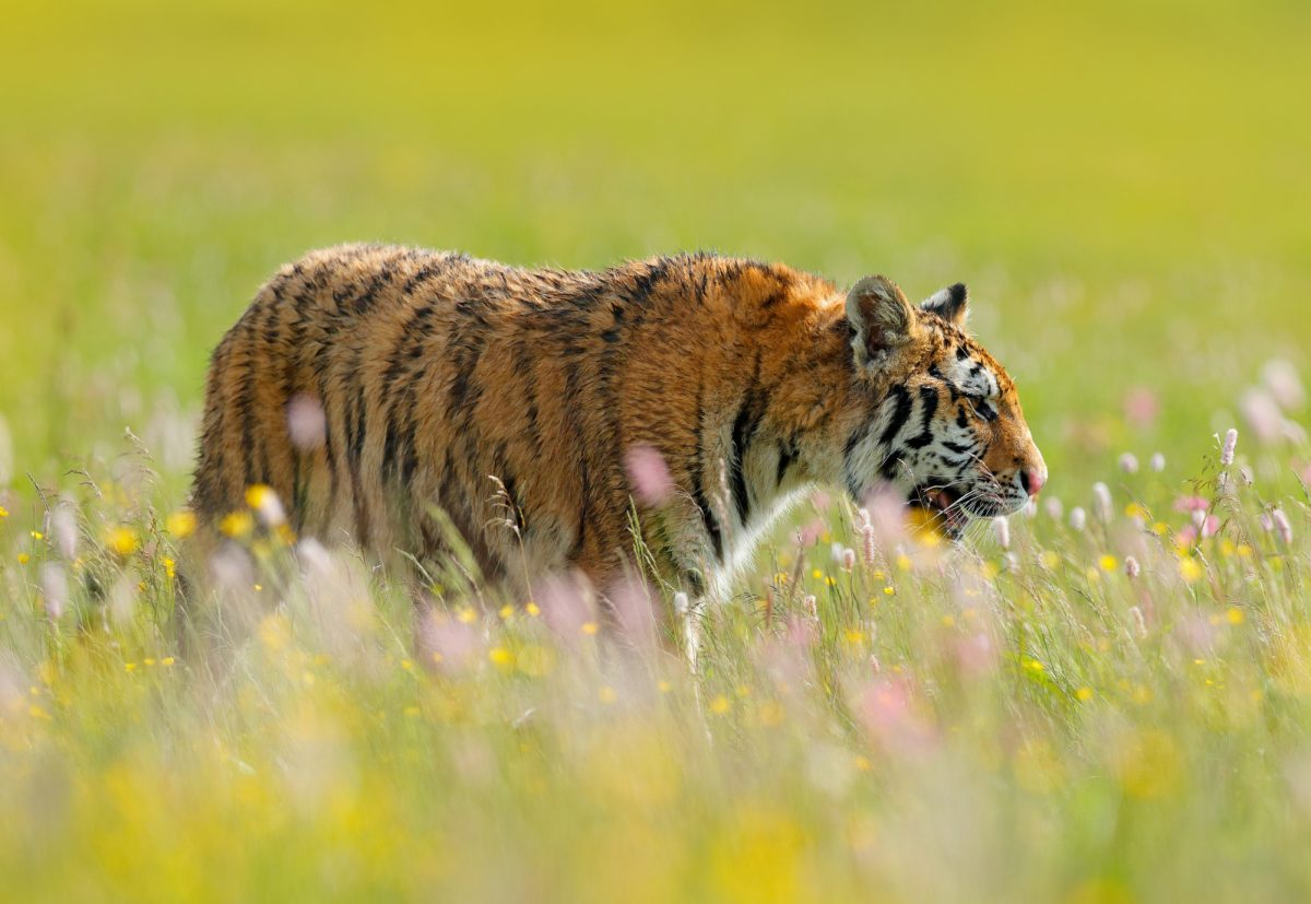 India Flowered meadow with tiger lowres