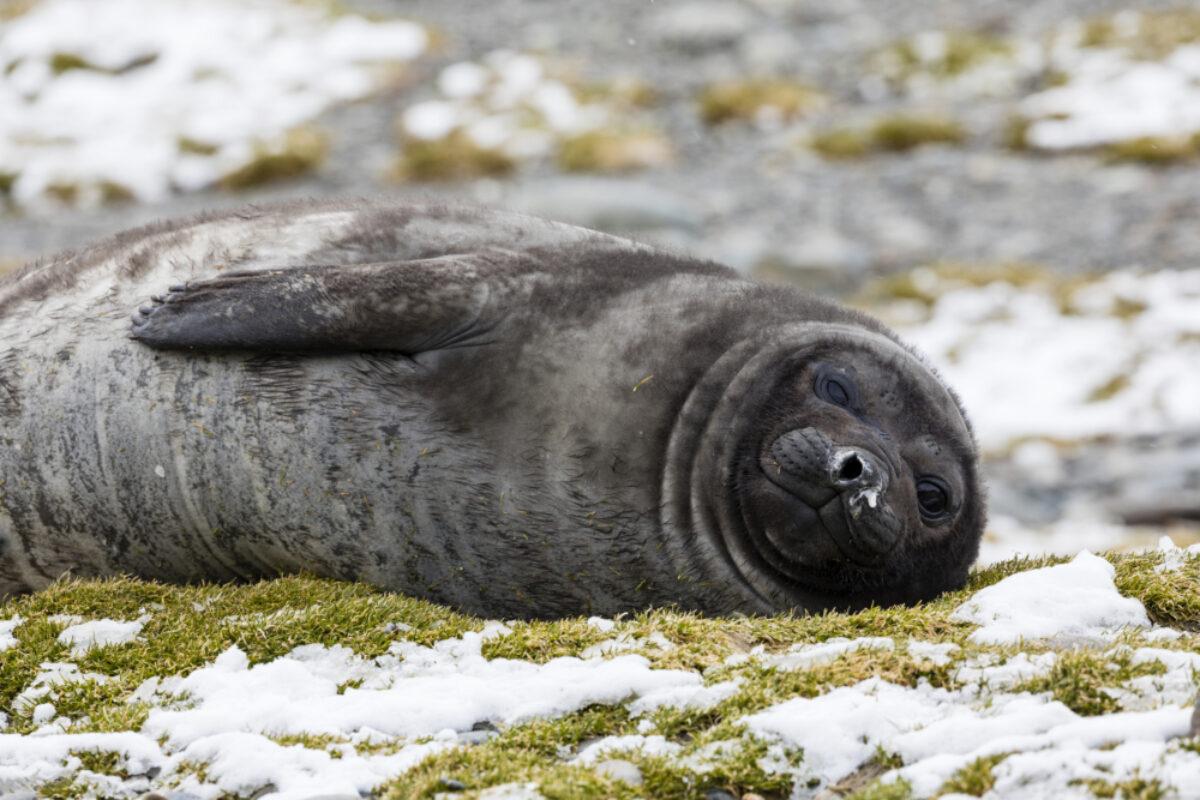 South-Georgia_Fortuna Bay_Elephant-Seal