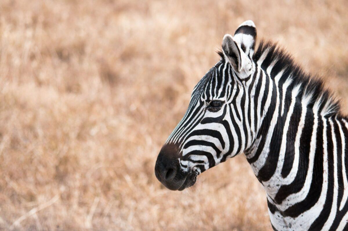 Tanzania Ngoro Ngoro crater zebra