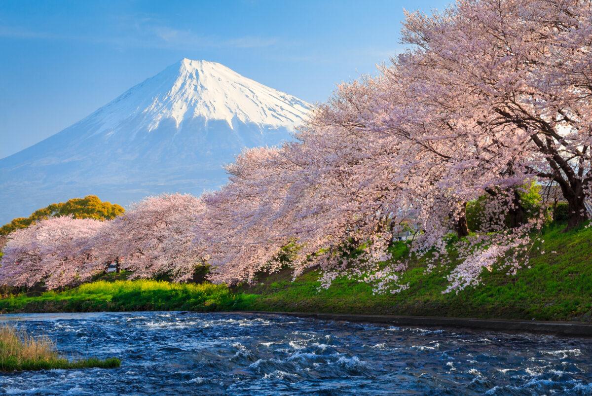Japan_fujiblossom