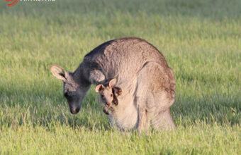Sunset Koalas & Kangaroos